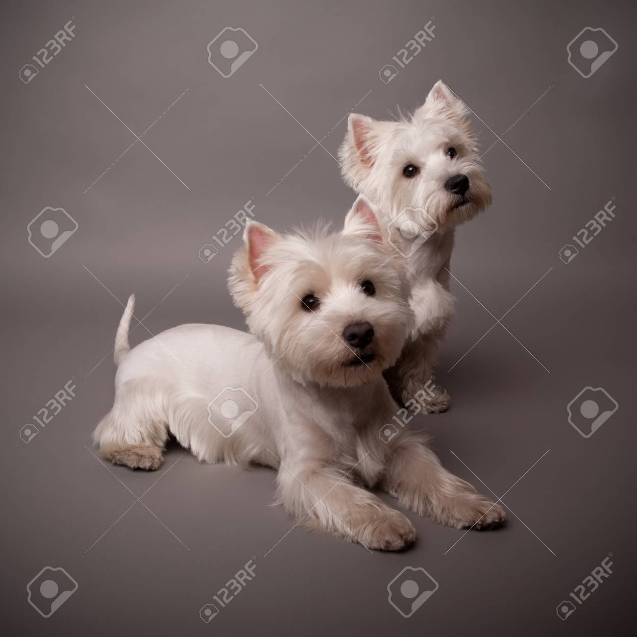 Two adorable West Highland Terrier (Westie) on a gray background Stock Photo - 13348080