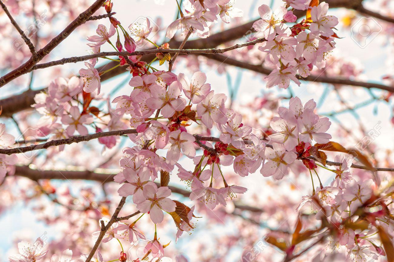 Rameaux De Cerisier A Fleurs Japonais Avec Des Bourgeons Accolade