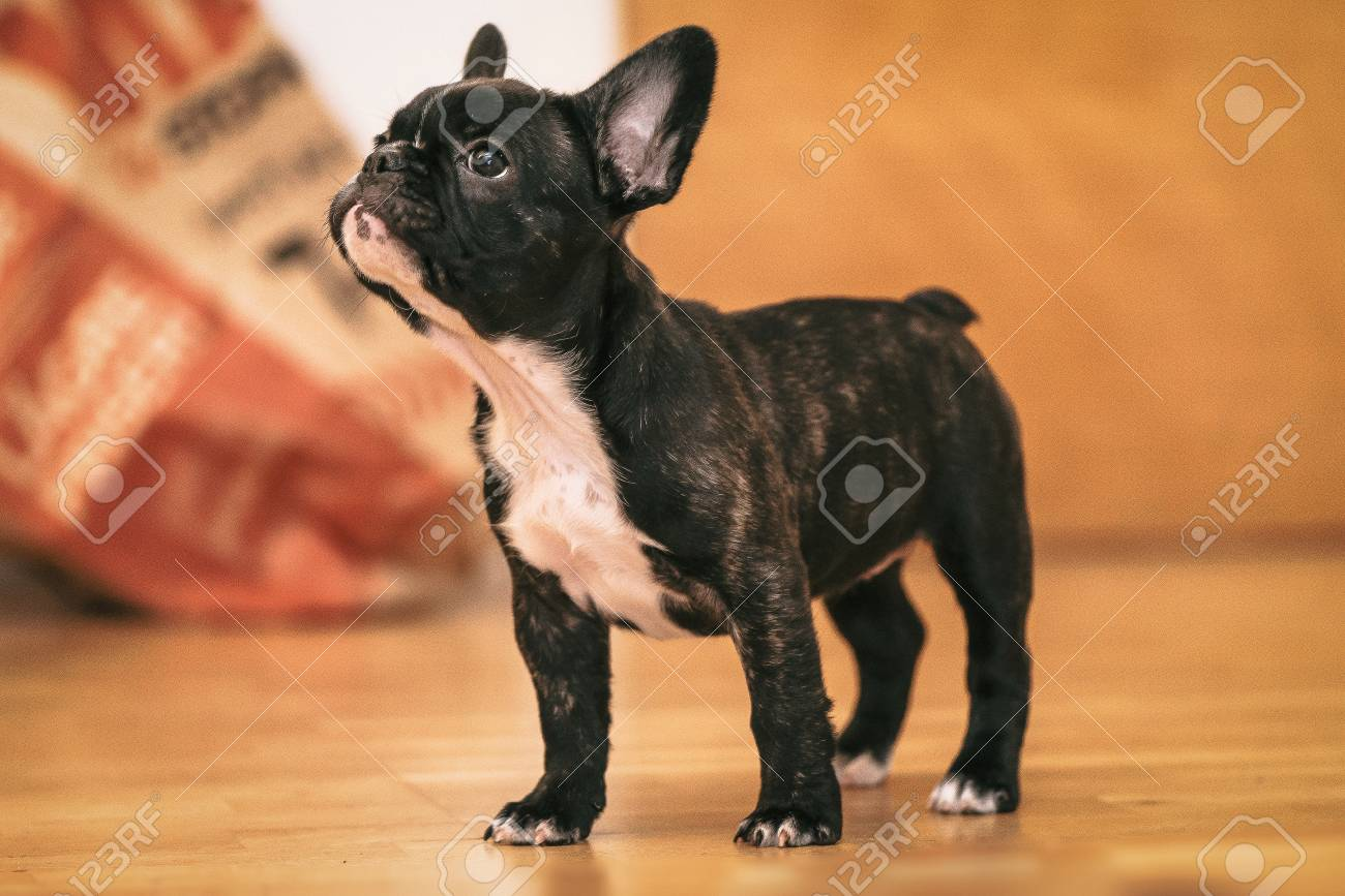 Playful Black And White French Bulldog Puppy The First Week At Stock Photo Picture And Royalty Free Image Image 89541341