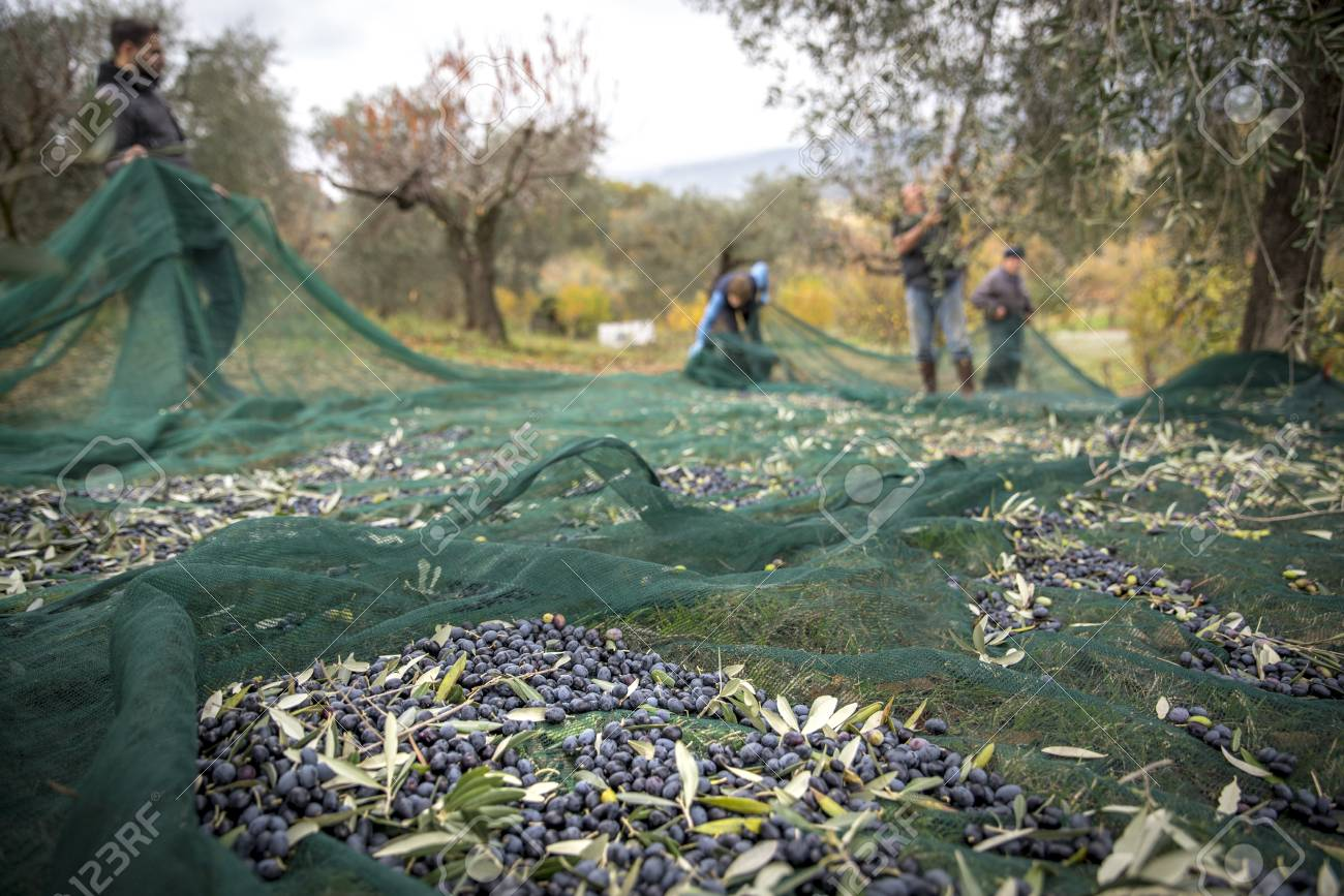 Italy. Farmers at work in harvesting olives in the countryside - 111880398