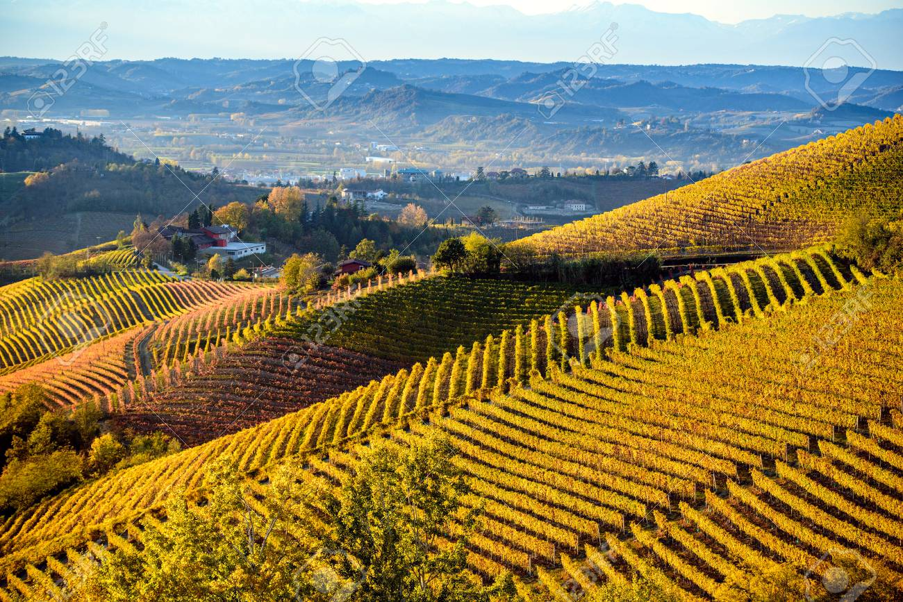 Vineyards in langhe region of northern italy in autumn with full