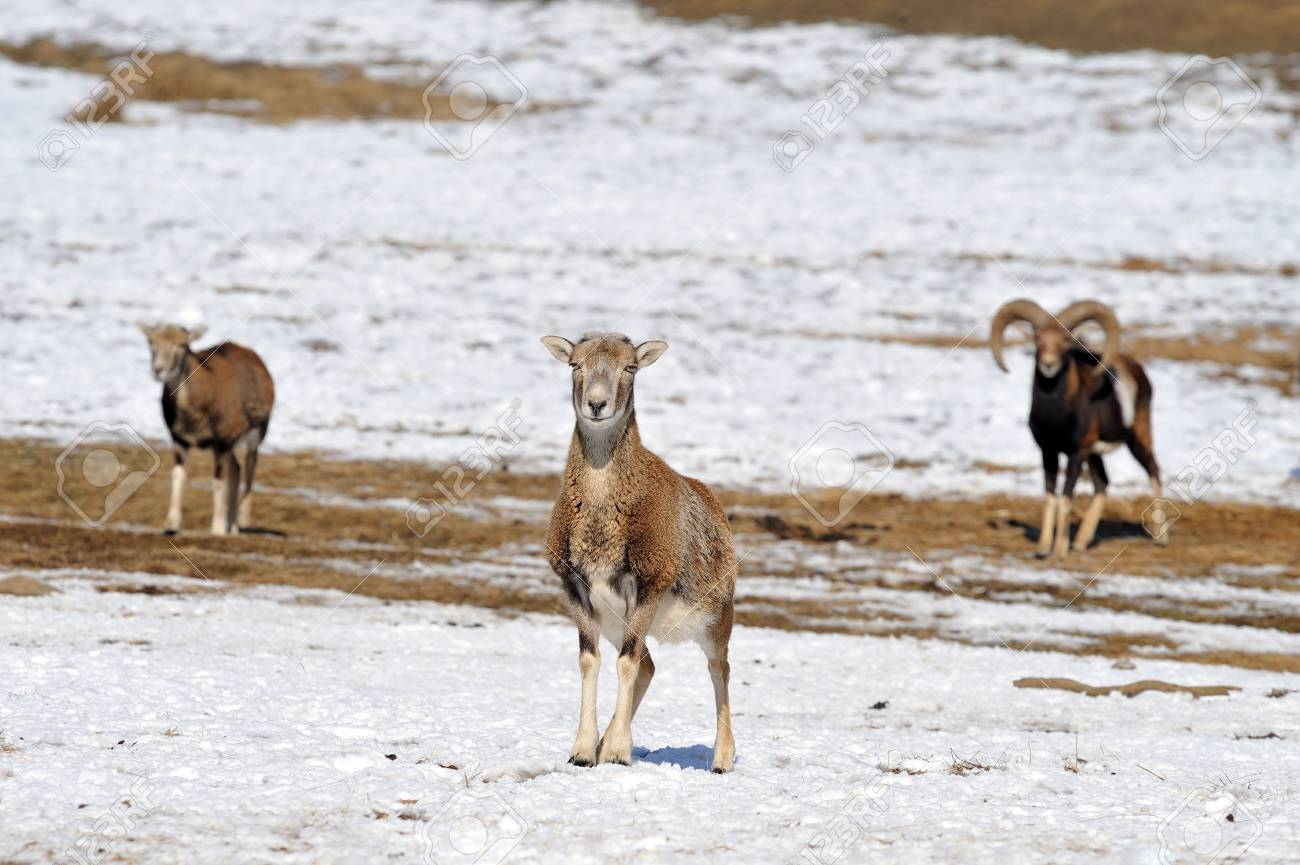 moufflon in winter Stock Photo - 13203315