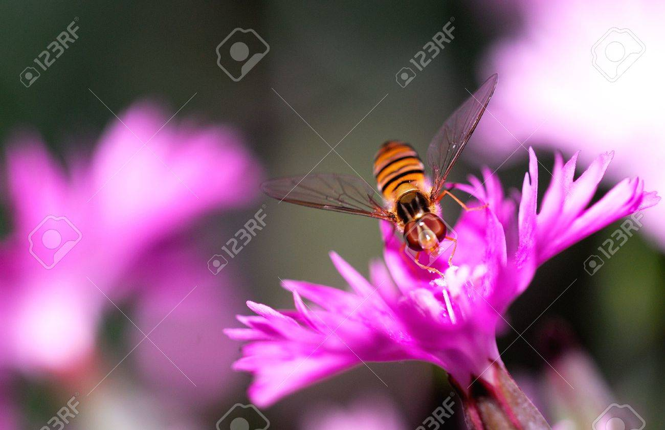 Pretty fly bee pollination in the garden Stock Photo - 5278478