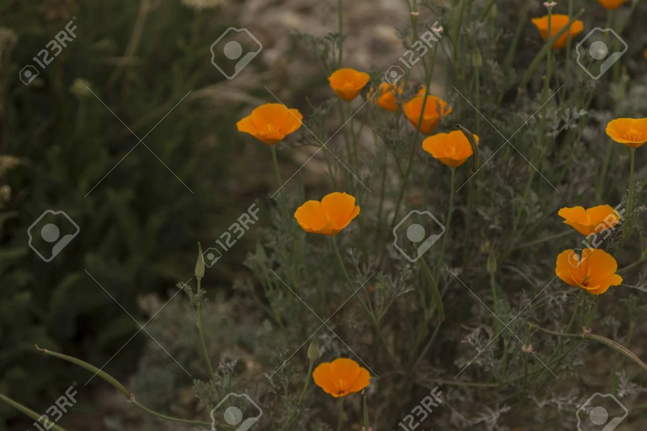 Orange California Poppy Flower Blooming In Spring Stock Photo
