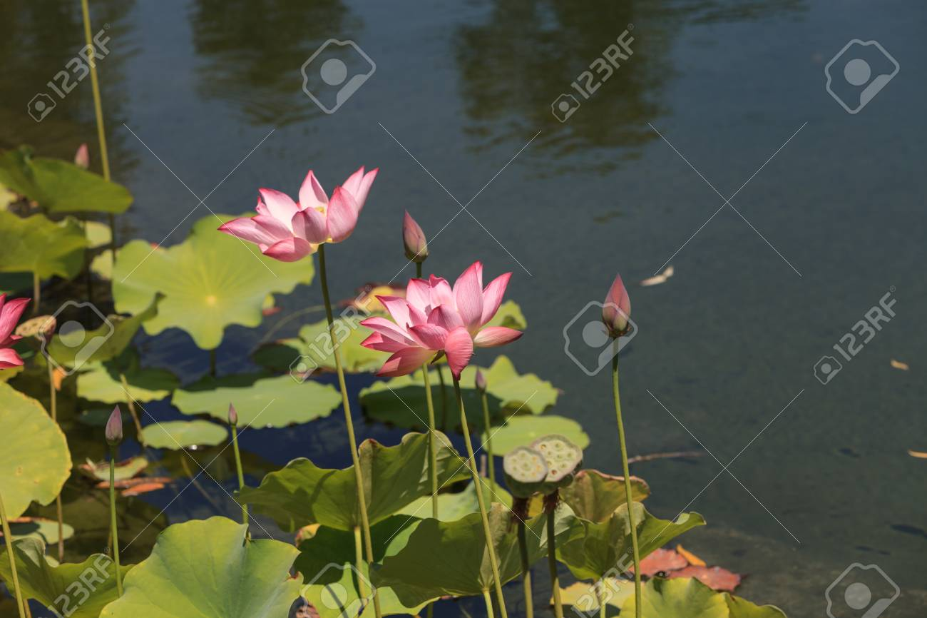 pink lotus flower blooms over a koi pond in southern california