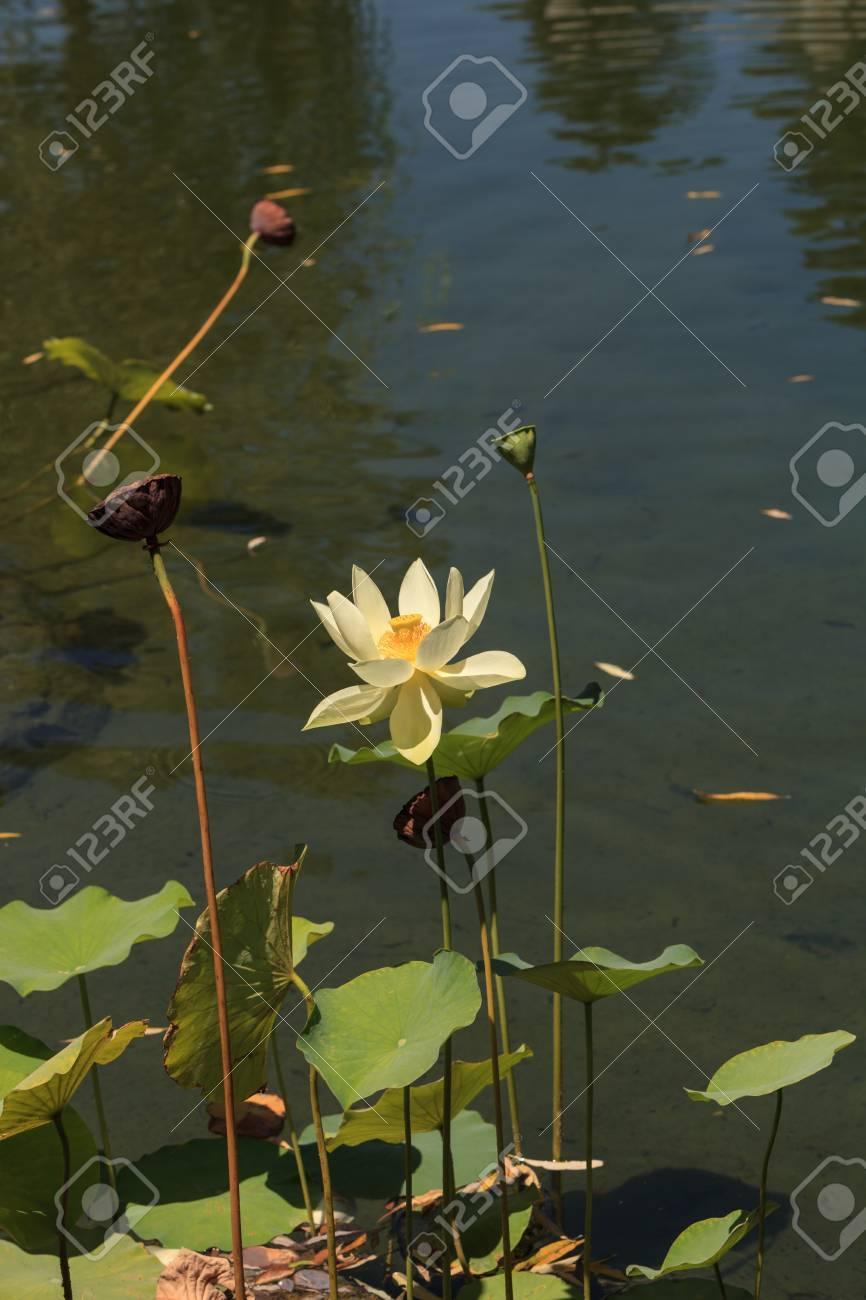Yellow Lotus Flower On Top Of A Koi Pond In Southern California