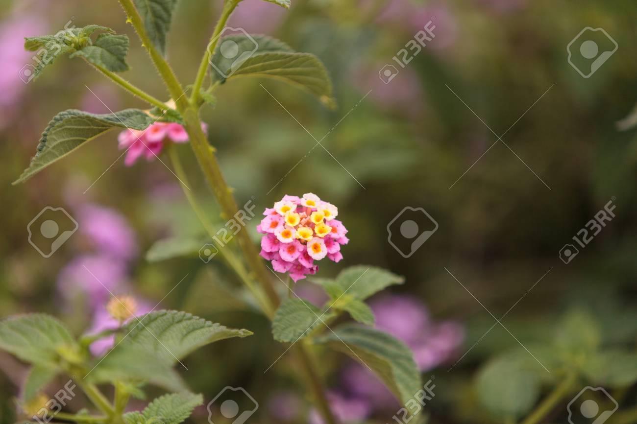 Yellow And Pink Flowers On Butterfly Bush Lantana Camara In Santa
