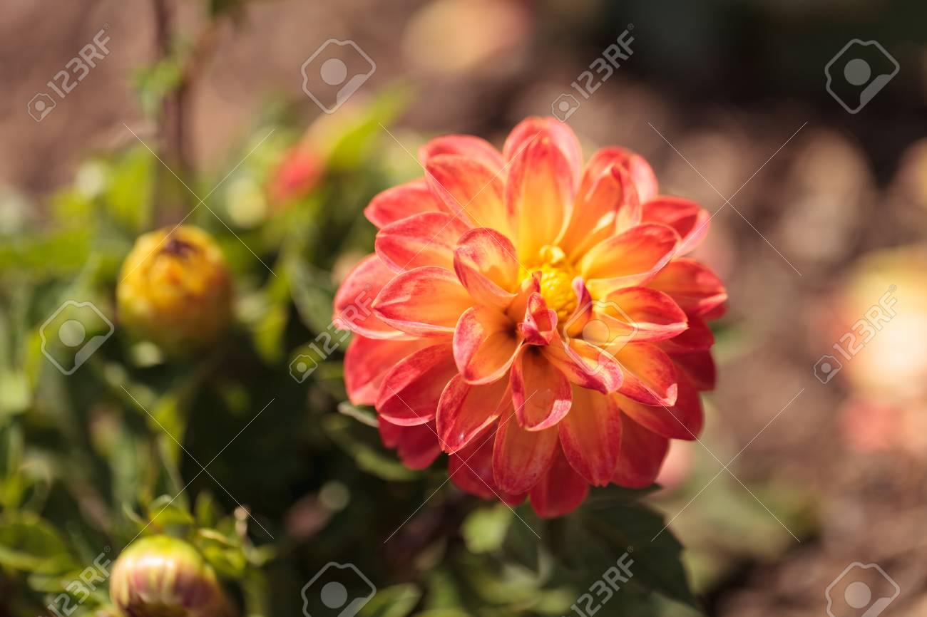 La Fleur Rose De Barbarry De Dahlia De Boule Est Trouvee Au Mexique