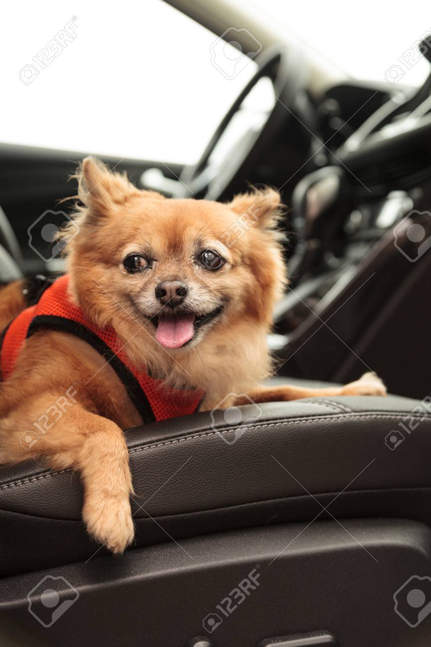 Pomeranian And Chihuahua Mix Dog Goes For A Ride In The Car He Is Strapped