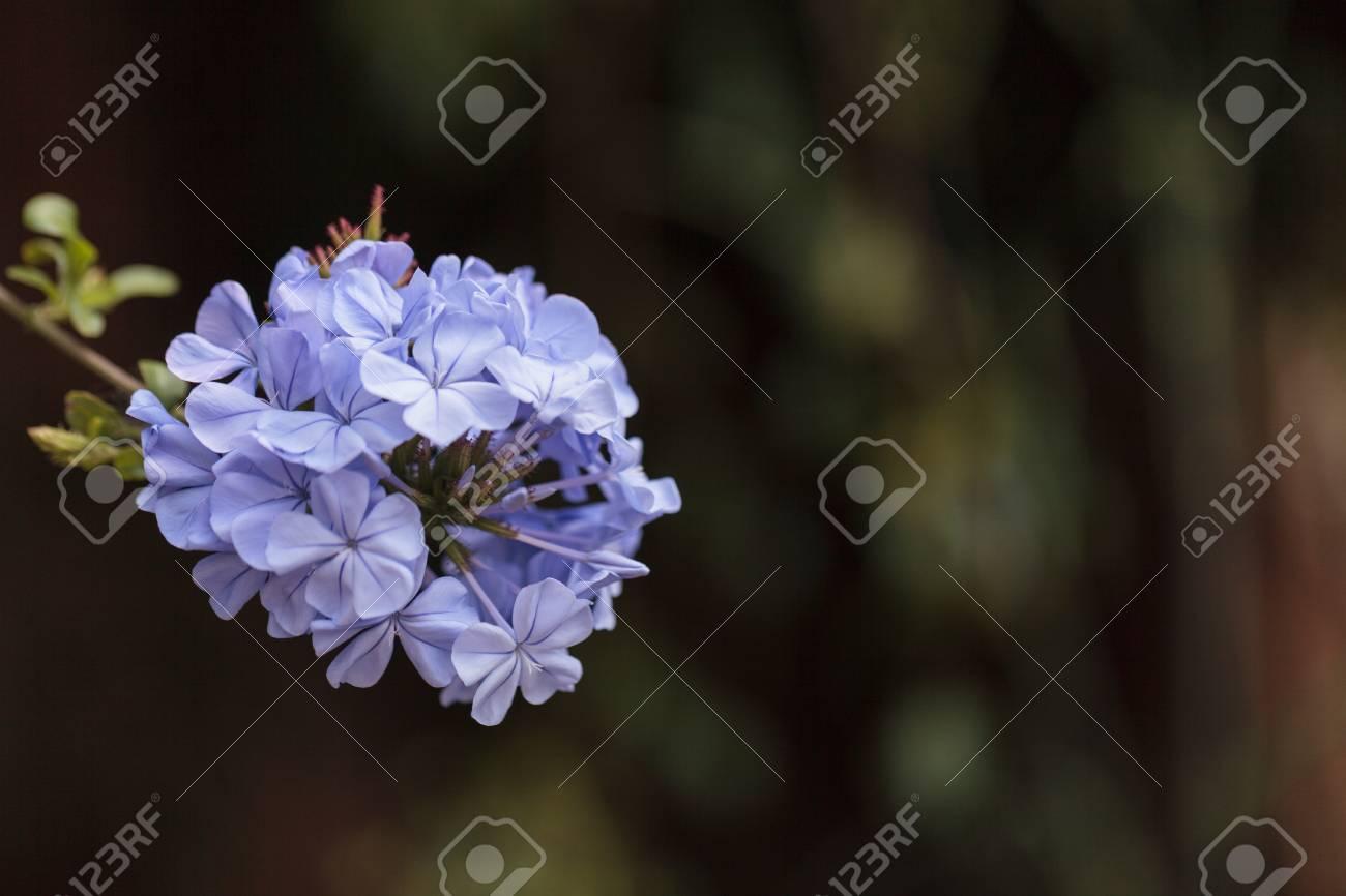 Blue Flowers Of Petrea Volubilis Also Called The Sandpaper Vine
