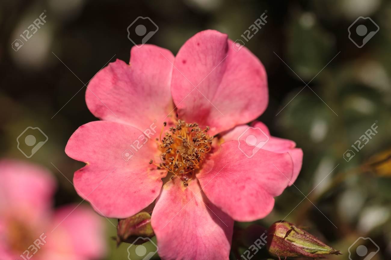 Happy Chappy Rose Abricot Rose Rosa Fleur Fleurit Comme Couverture