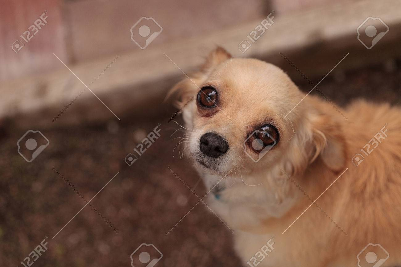 Tan Cream Colored Chihuahua Puppy Dog Looks Nervous Stock Photo Picture And Royalty Free Image Image 61226979