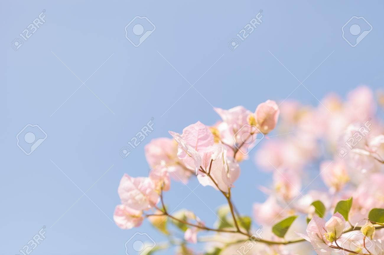 Fiori Bianchi Leggeri.Immagini Stock I Fiori Rosa Bianchi Leggeri Su Una Boscaglia Di