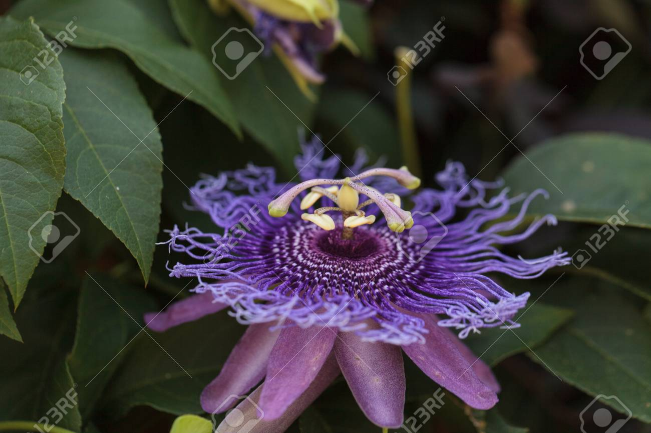 Purple Passion Flower Passiflora Caerulea On A Vine In A Garden