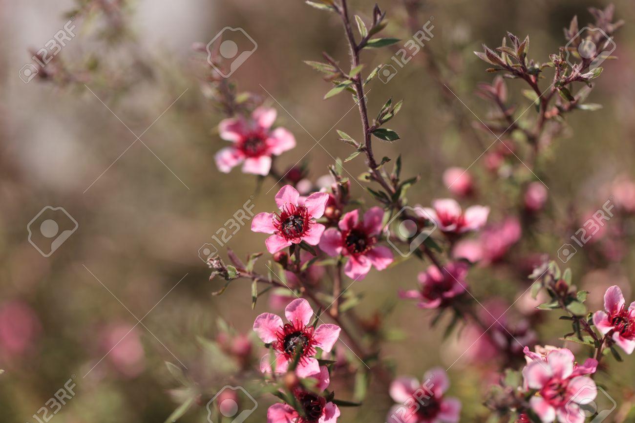 Tiny pink flowers on a leptospermum tea tree bush growing in stock stock photo tiny pink flowers on a leptospermum tea tree bush growing in a botanical garden in summer mightylinksfo
