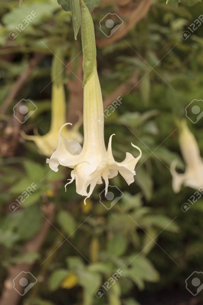Fleur Blanche En Forme De Cloche Sur Un Trompettiste Ange De