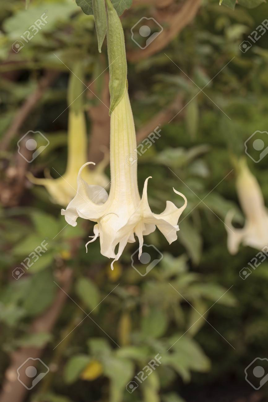 White Flower Hangs In A Bell Shape On A Brugmansia Angel S Trumpet