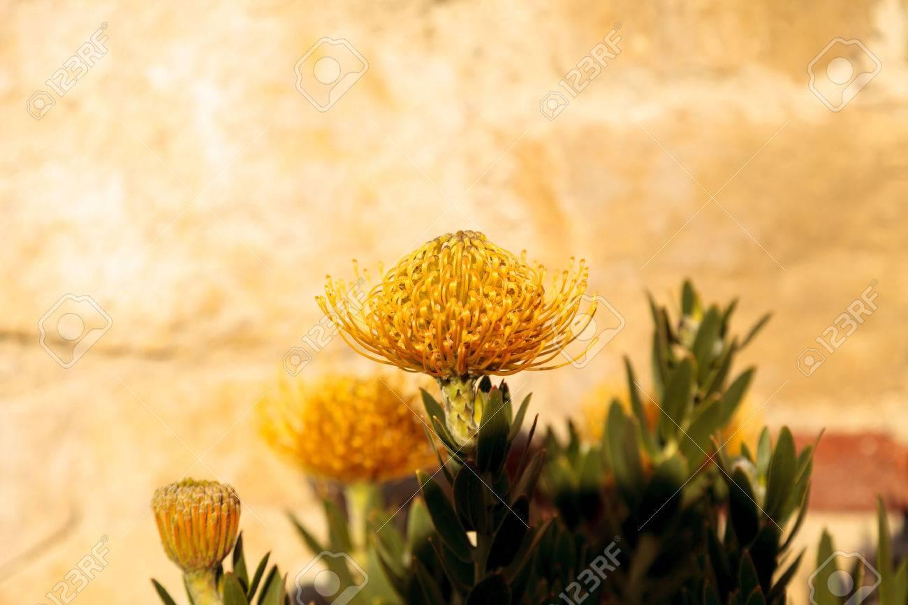 Yellow Flowers Of A Pincushion Protea Leucospermum Succulent