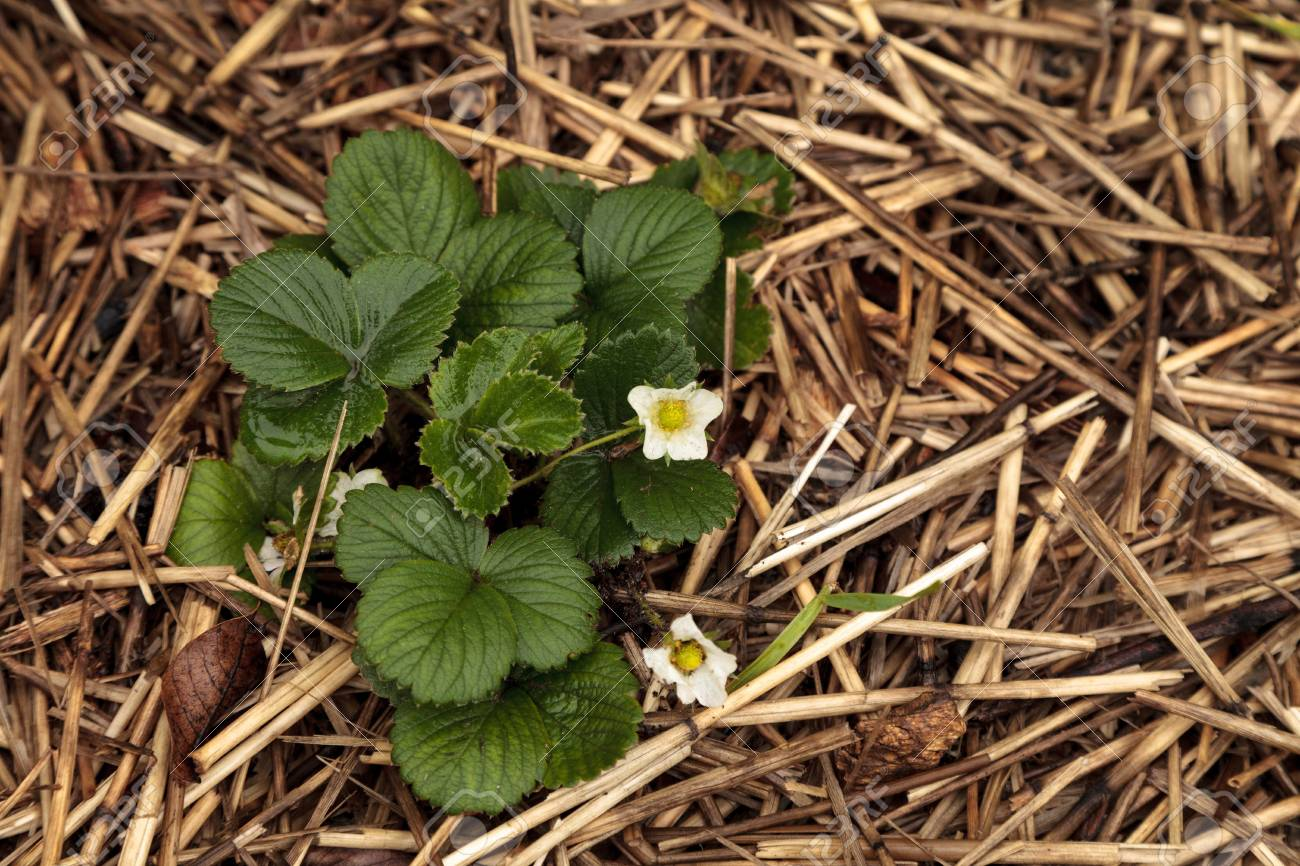 Small White Flowers Bloom On A Strawberry Plant In An Organic