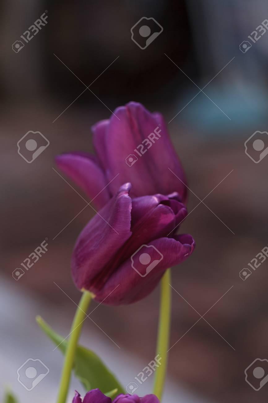 dark purple tulips in a botanical flower garden in spring stock