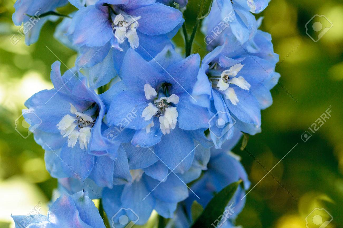 Purple blue and white larkspur flower known as delphinium blooms purple blue and white larkspur flower known as delphinium blooms in a garden in spring mightylinksfo