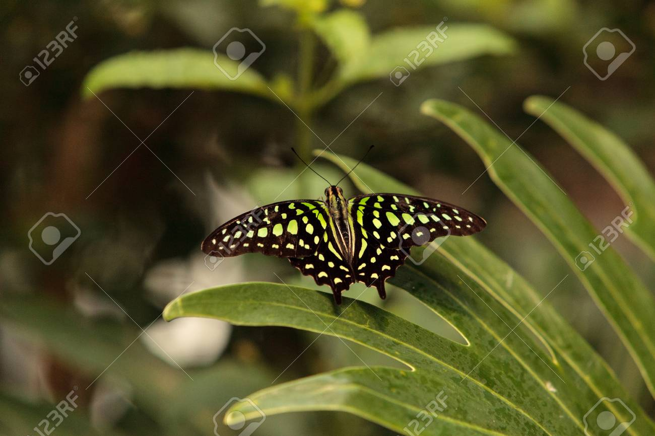 Green And Black Wings Of Tailed Jay Butterfly, Graphium Agamemnon ...