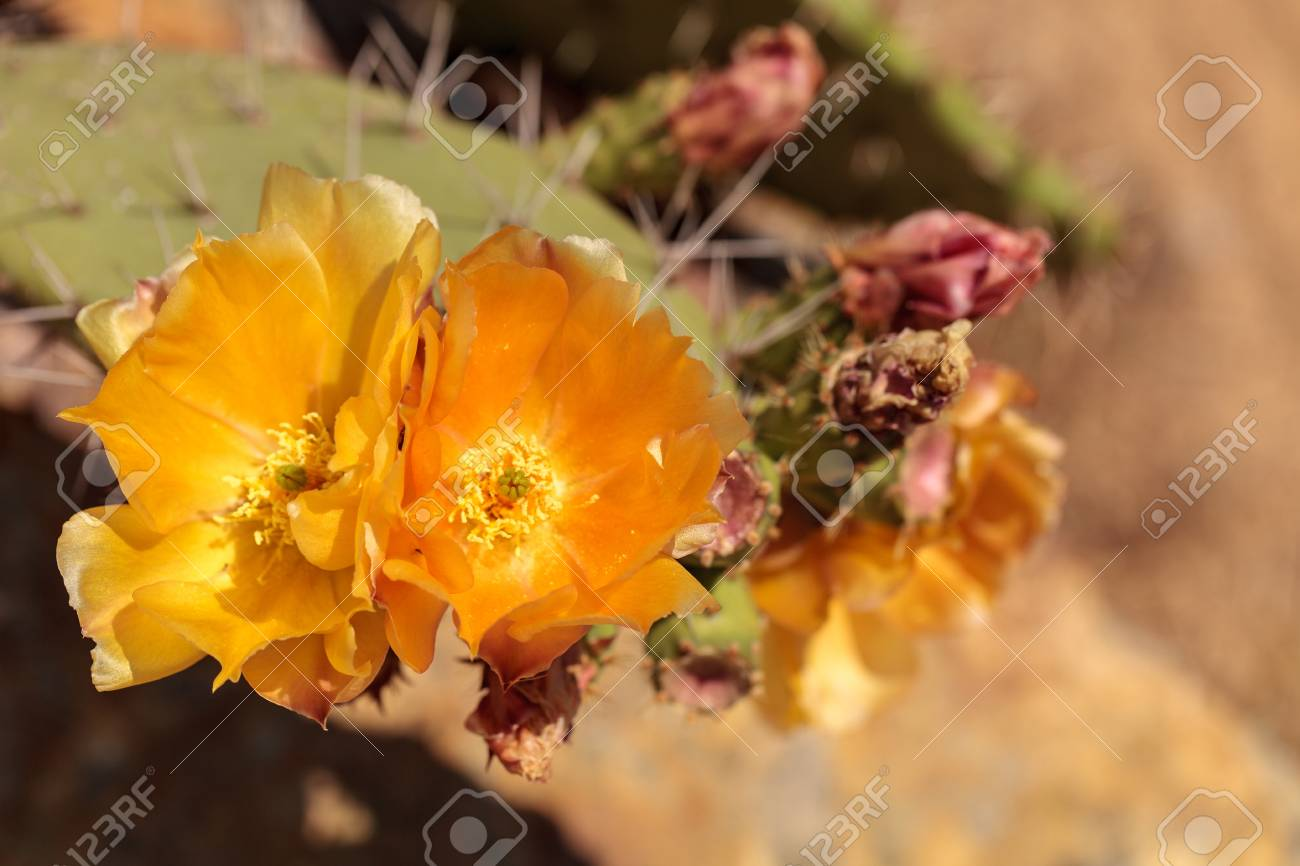 Yellow Flowers On A Coast Barrel Cactus San Diego Barrel Cactus