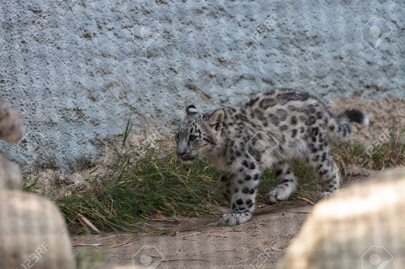 Snow leopard Panthera uncia found in the mountain ranges of China,