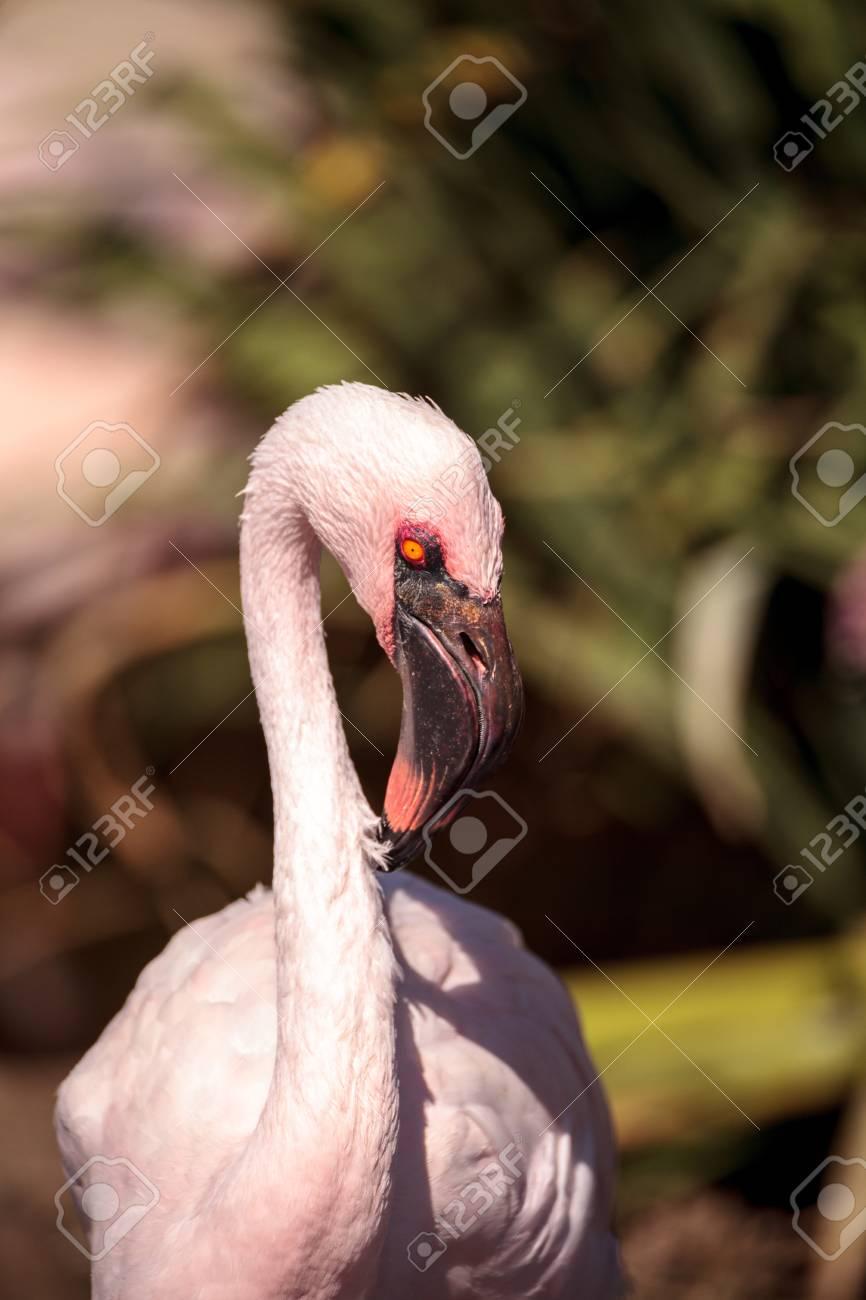 ピンク コフラミンゴ、Phoenicon...