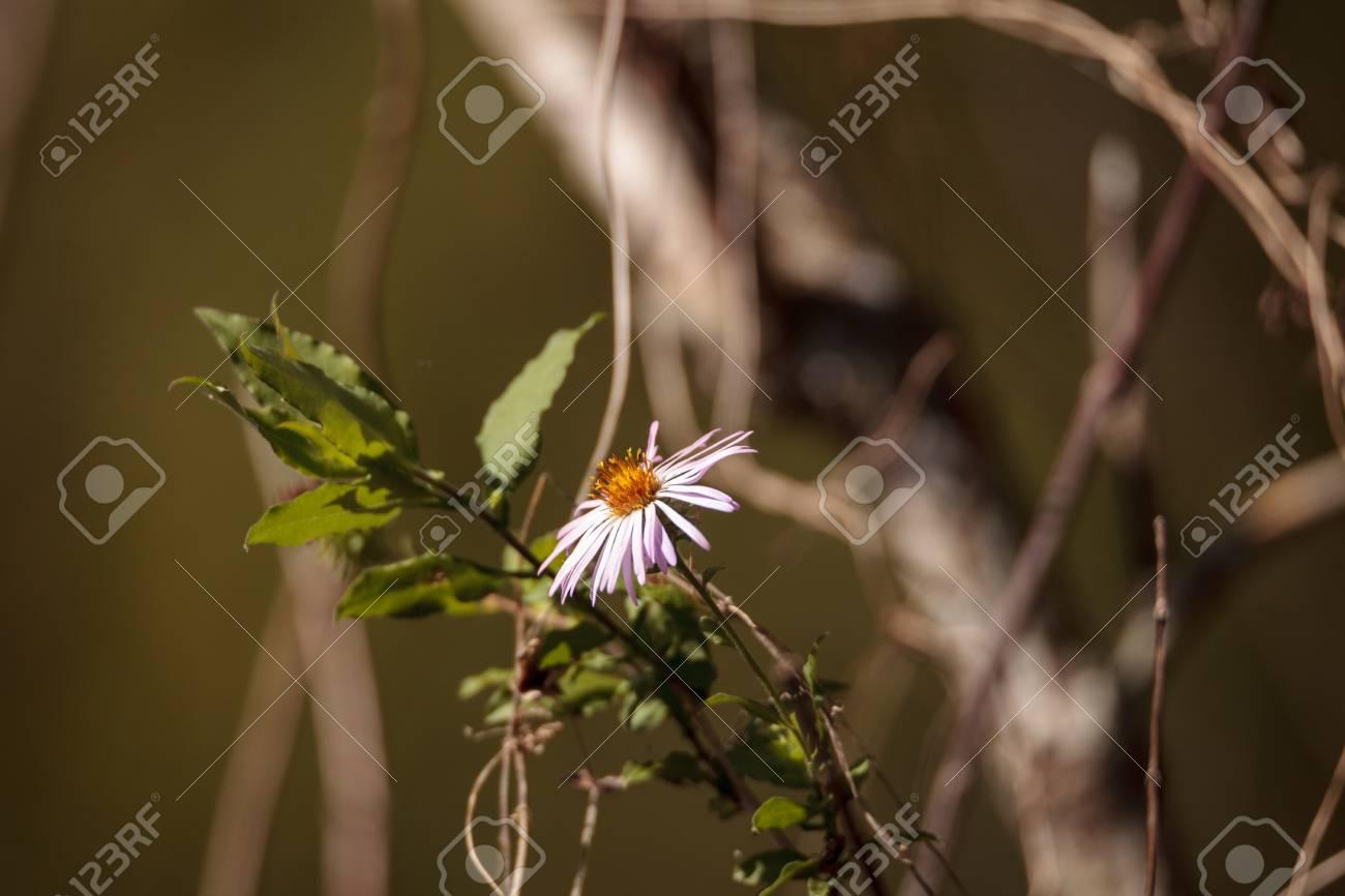 Climbing Aster Flower Ampelaster Carolinianus Is A Daisy Like