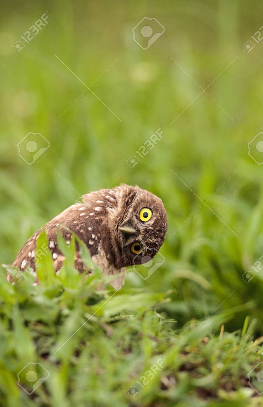 Funny Burrowing owl Athene cunicularia tilts its head outside its burrow on Marco Island, Florida - 102692377