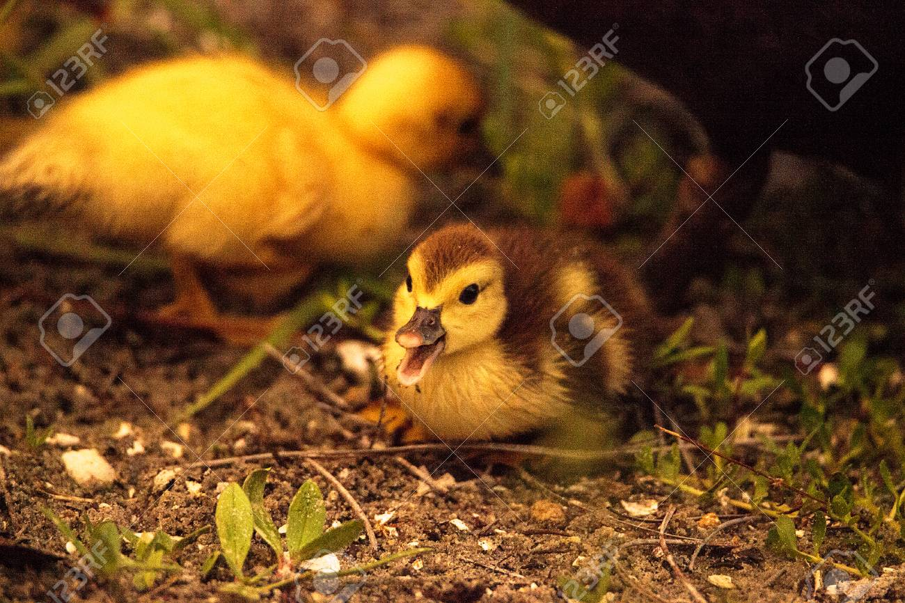 Baby Muscovy ducklings Cairina moschata flock together in a pond