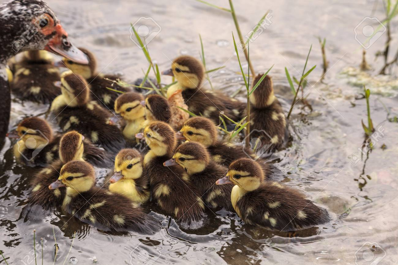 Large flock of Baby Muscovy ducklings Cairina moschata crowd