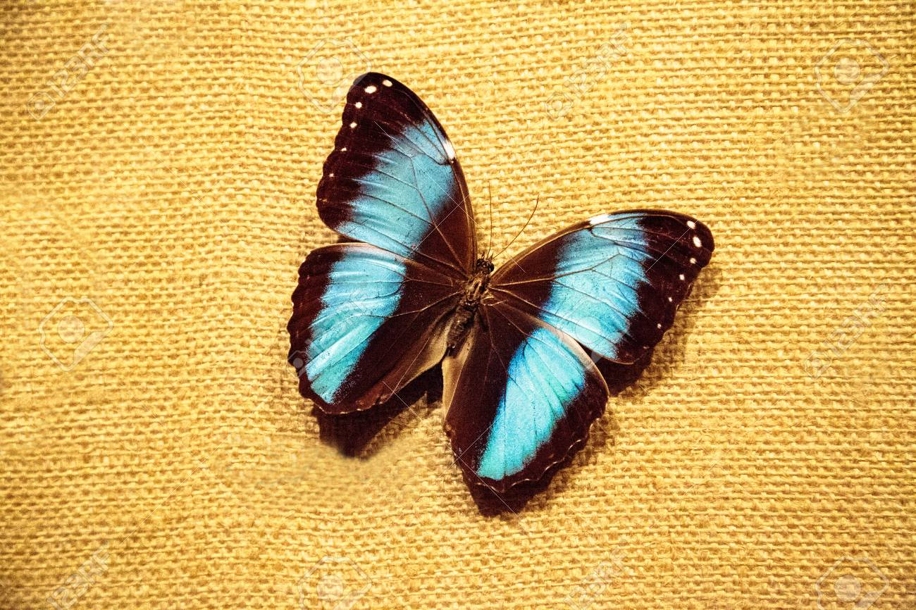 Pinned blue morpho butterfly Morpho peleides on a fabric board