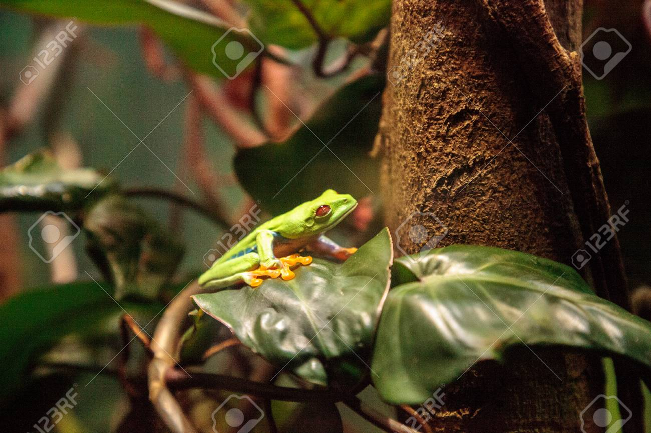 Red Eyed Tree Frog Agalychnis Callidryas Rest On A Leaf In A Stock Photo Picture And Royalty Free Image Image 114715518