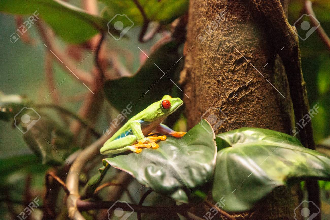 Red Eyed Tree Frog Agalychnis Callidryas Rest On A Leaf In A Stock Photo Picture And Royalty Free Image Image 114716021