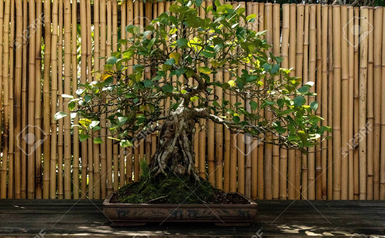 Triangle Fig Tree Ficus Triangularis Bonsai Tree Grows In A Botanical Stock Photo Picture And Royalty Free Image Image 142270943