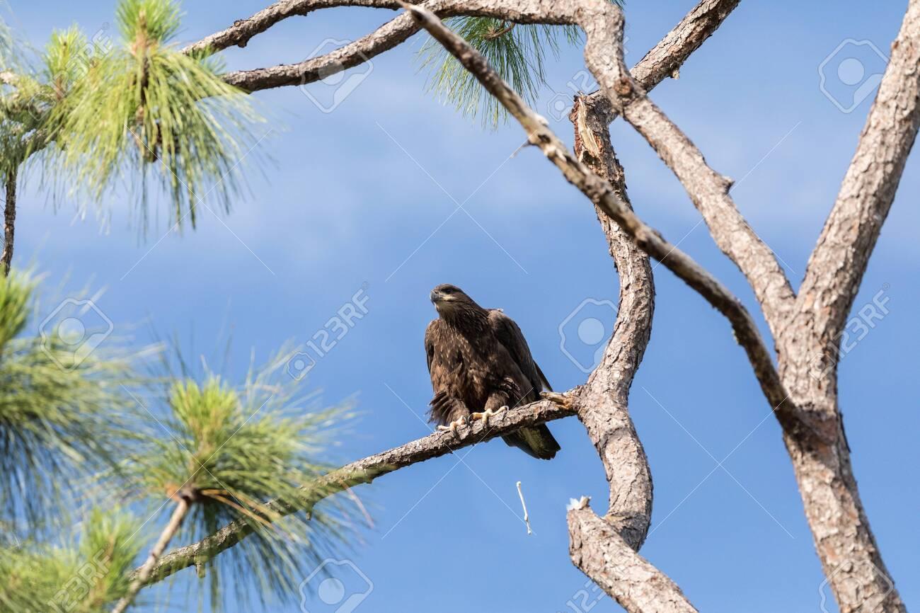 Pooping Juvenile bald eagle Haliaeetus leucocephalus bird of prey perches on a branch above a swamp in Naples, Florida - 145974359