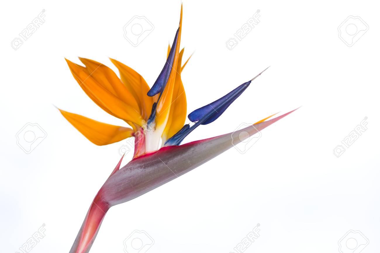 Strelitzia Reginae Oiseau De Paradis Fleur Isolee Sur Fond Blanc