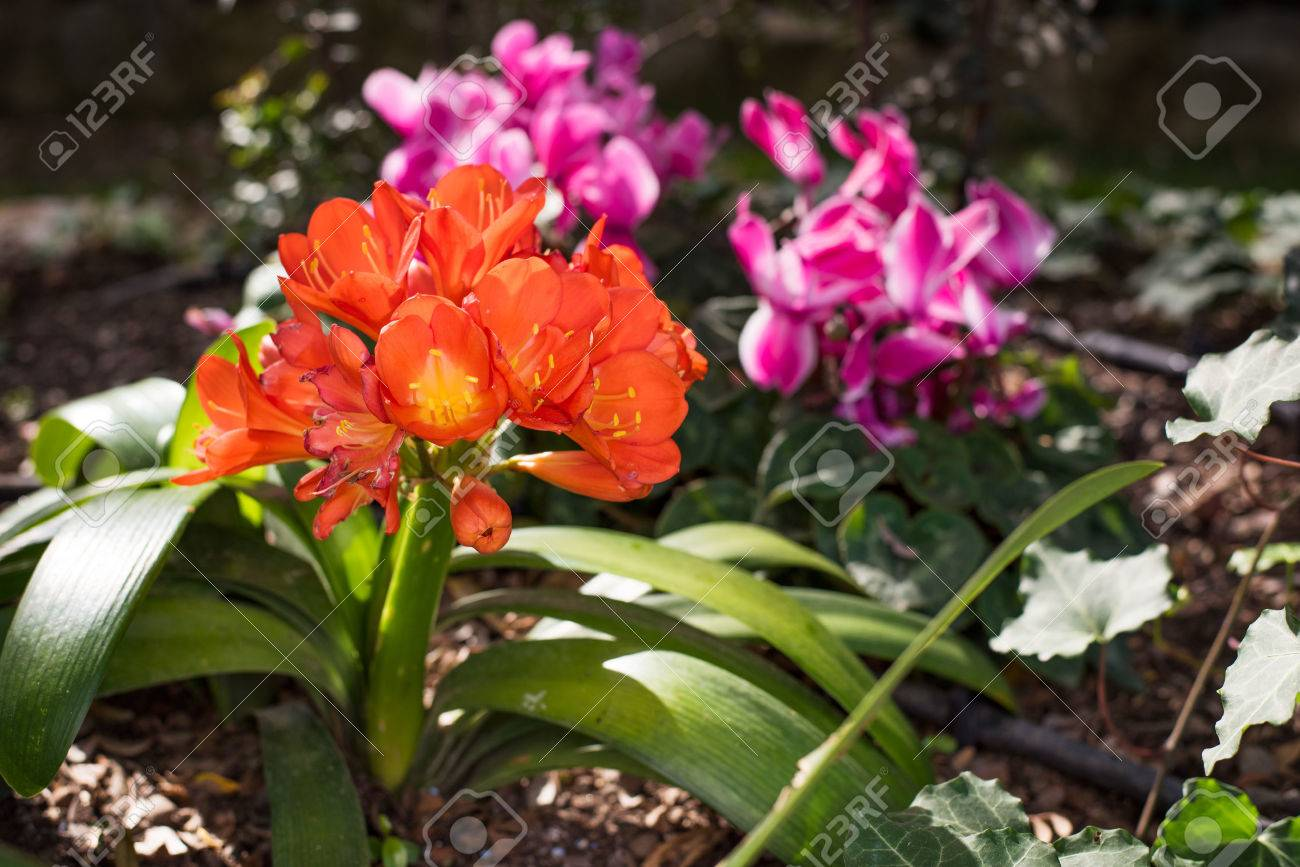 Orange clivia miniata flowers of lily in a flower bed with pink orange clivia miniata flowers of lily in a flower bed with pink flowers in the background izmirmasajfo