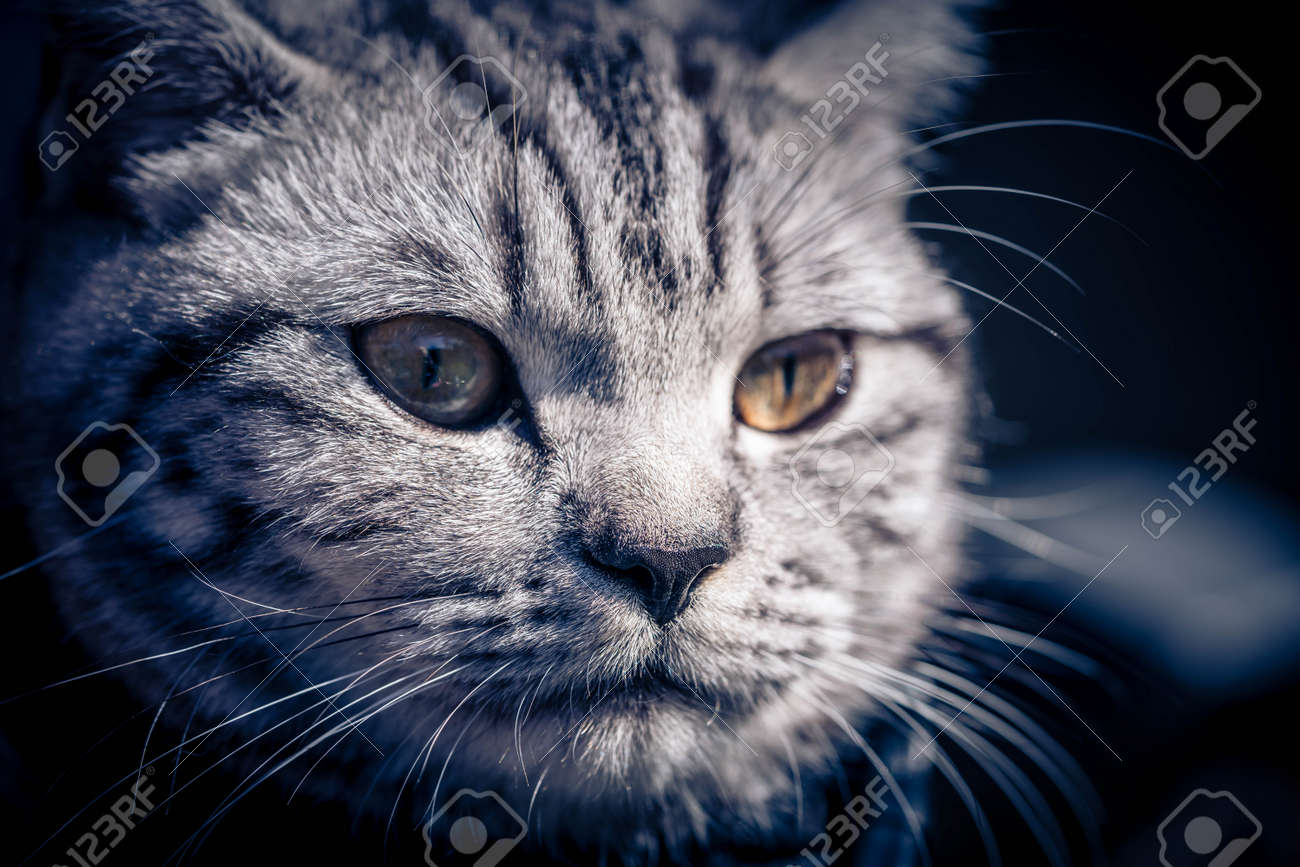 gray british short hair cat - 168247300