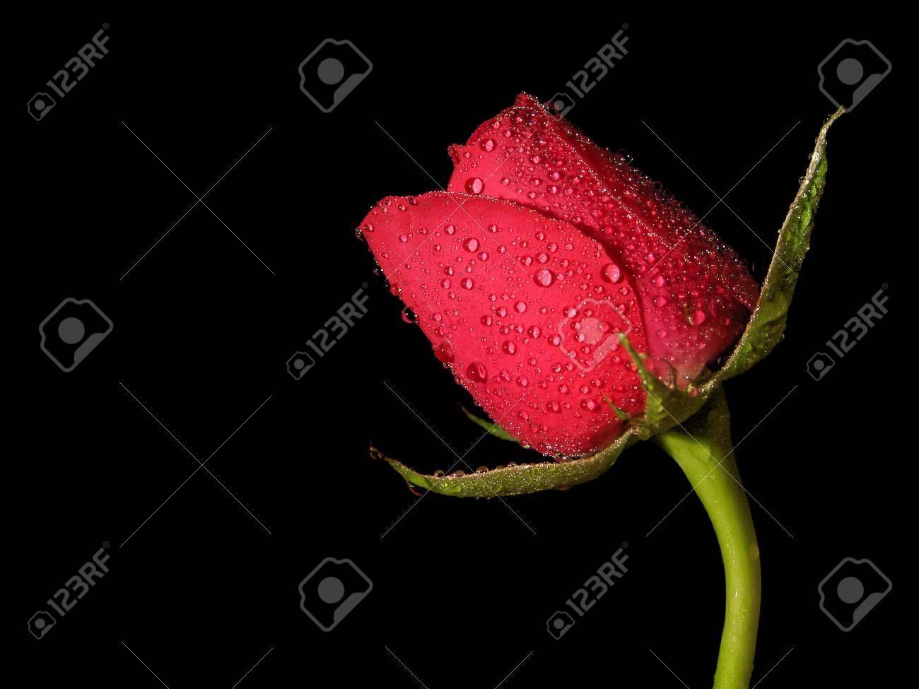 Immagini Stock Una Sola Rosa Rossa Prese Con Uno Sfondo Nero Il