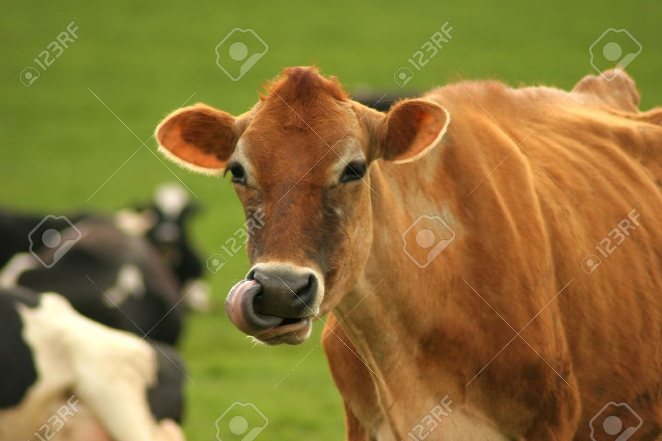 Jersey cattle, breed of dairy cattle native to the island of Jersey in the English Channel. Jerseys, smallest of the dairy breeds, are usually a shade of fawn or cream, although darker shades are common. The lighter colors are attributed to Norman ancesto Stock Photo - 9180350