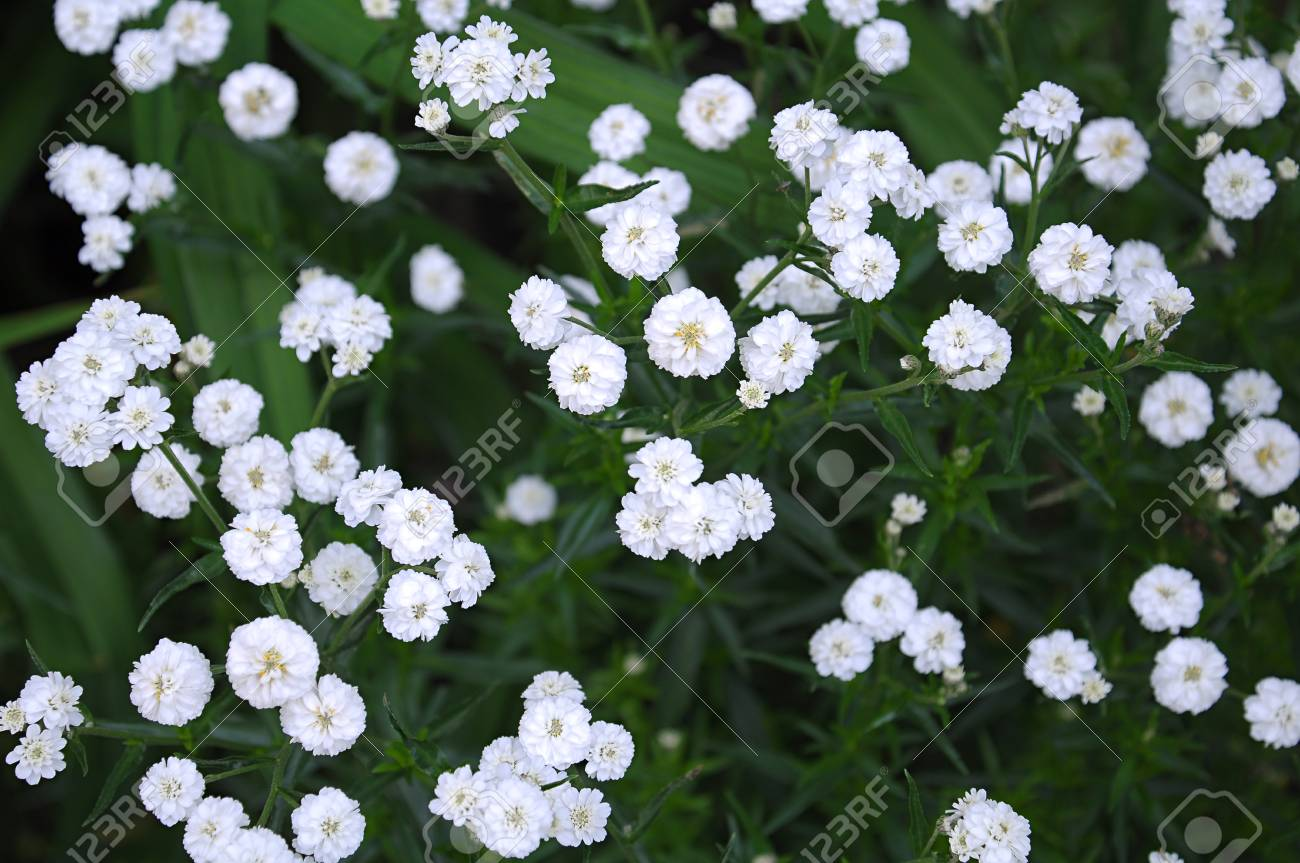 Tiny White Flowers Gypsophila Paniculata Stock Photo Picture And