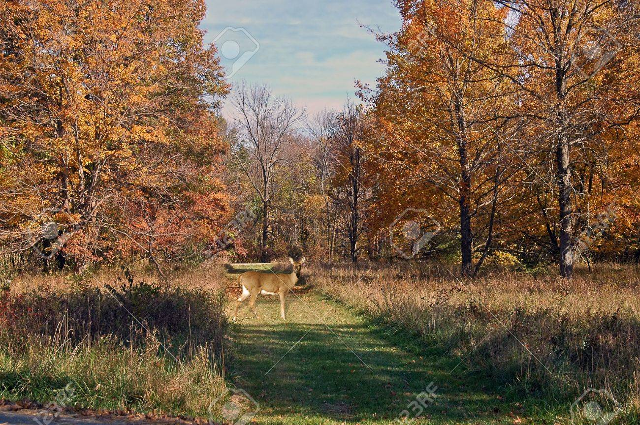 A picture of a doe deer taken in a forest in Indiana Stock Photo - 2591035