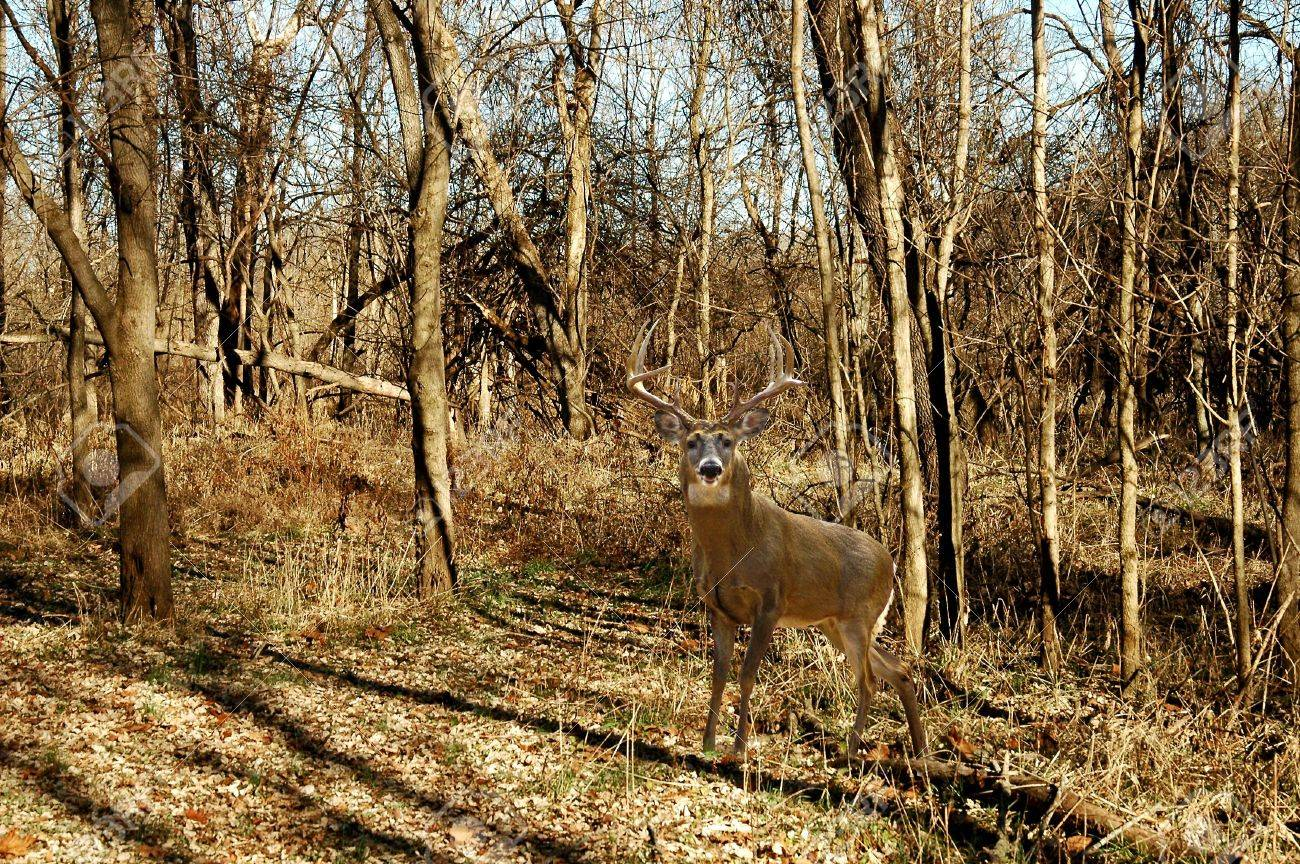 A picture of a buck deer taken in the forest in Indiana