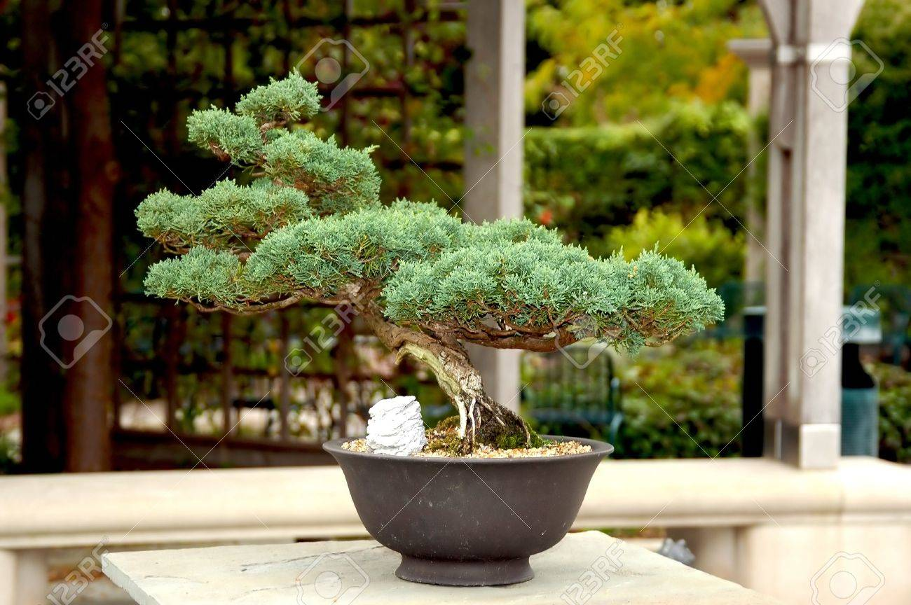 A Picture Of A Bonsai Tree Taken At A Contest In Indianapolis Stock Photo Picture And Royalty Free Image Image 3025346