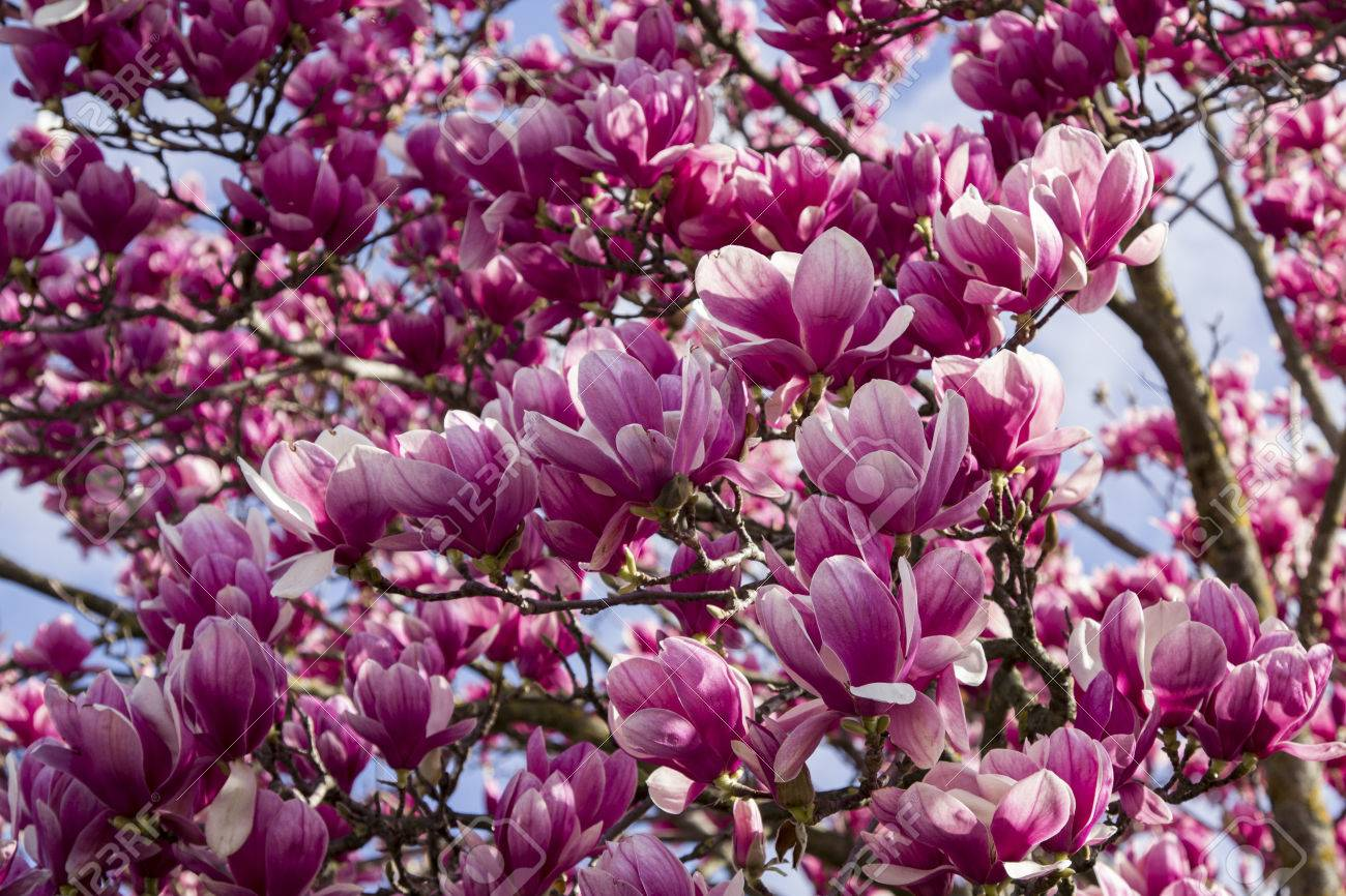 Background Magnolia Pink Flowered Plant Lilliflora Leafless Stock