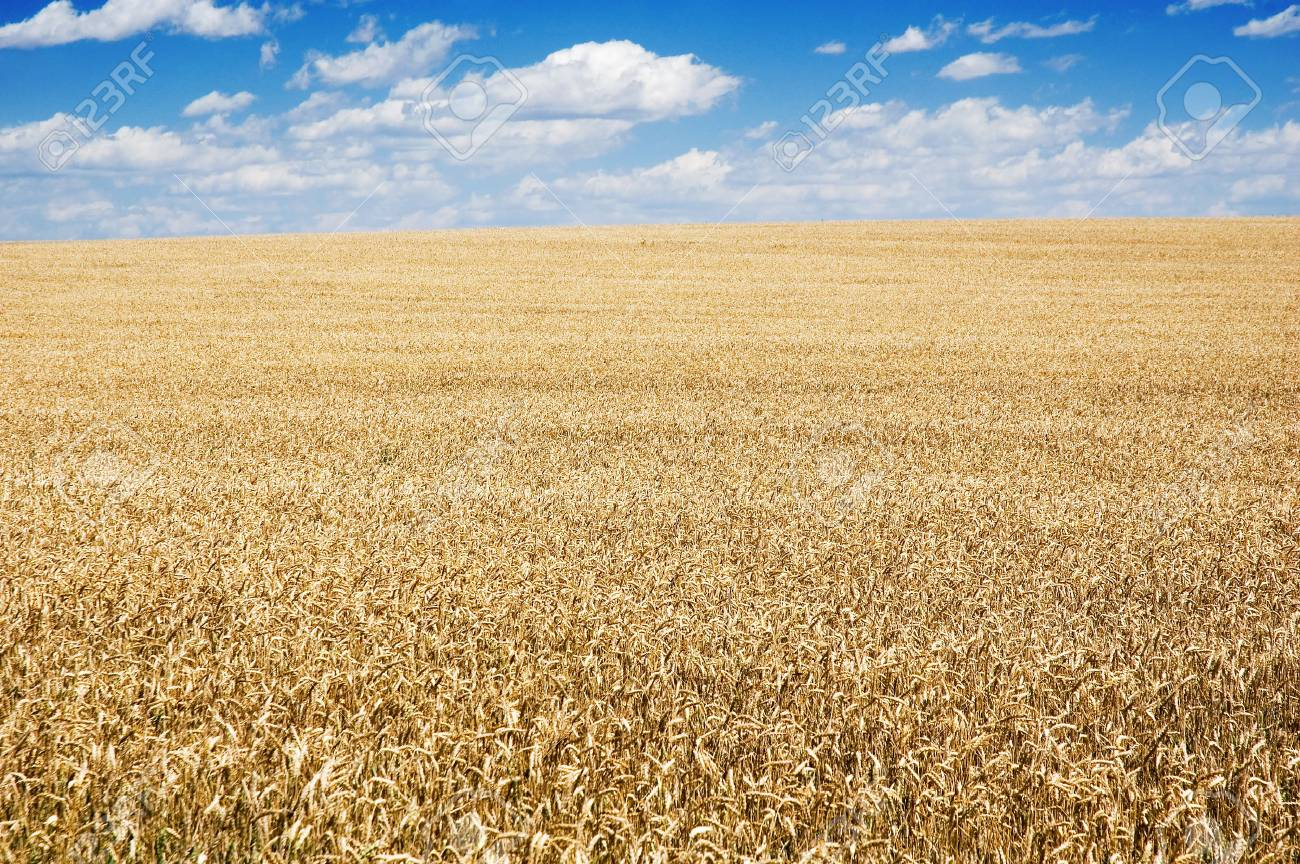 Golden wheat field and blue cloudy sky Stock Photo - 2034597