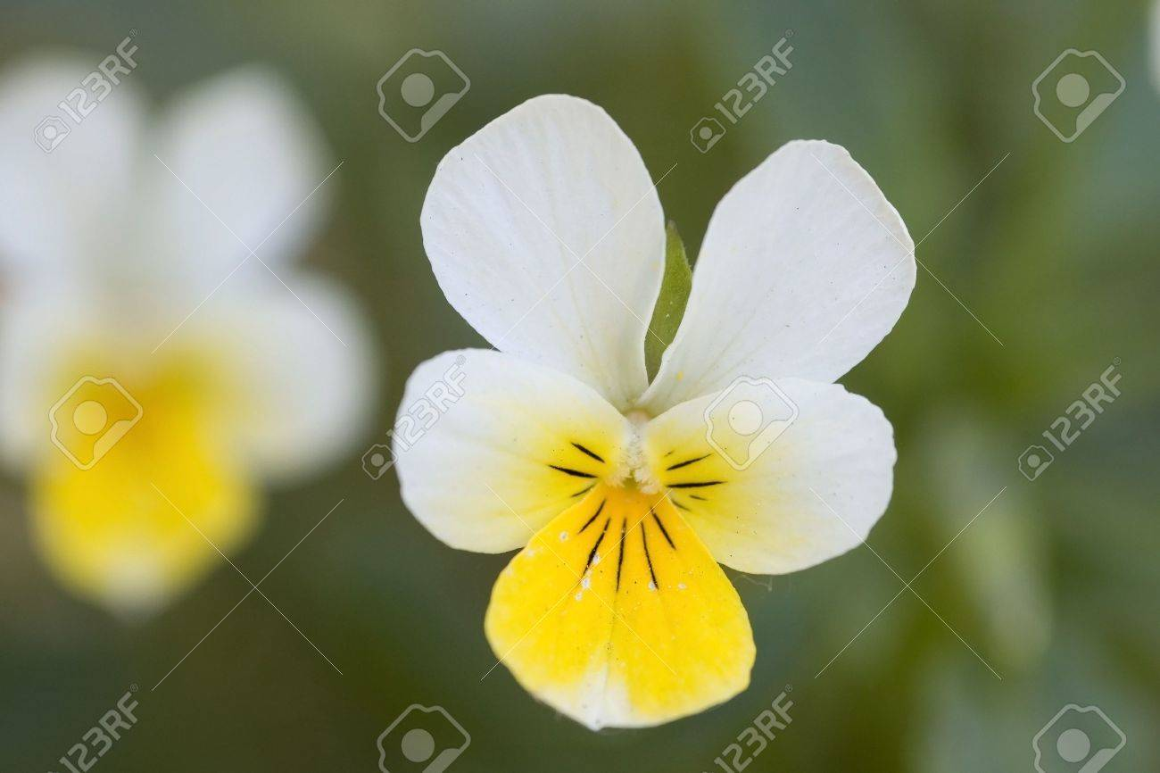 Macro Shot Of White And Yellow Pansy Flower Stock Photo Picture And